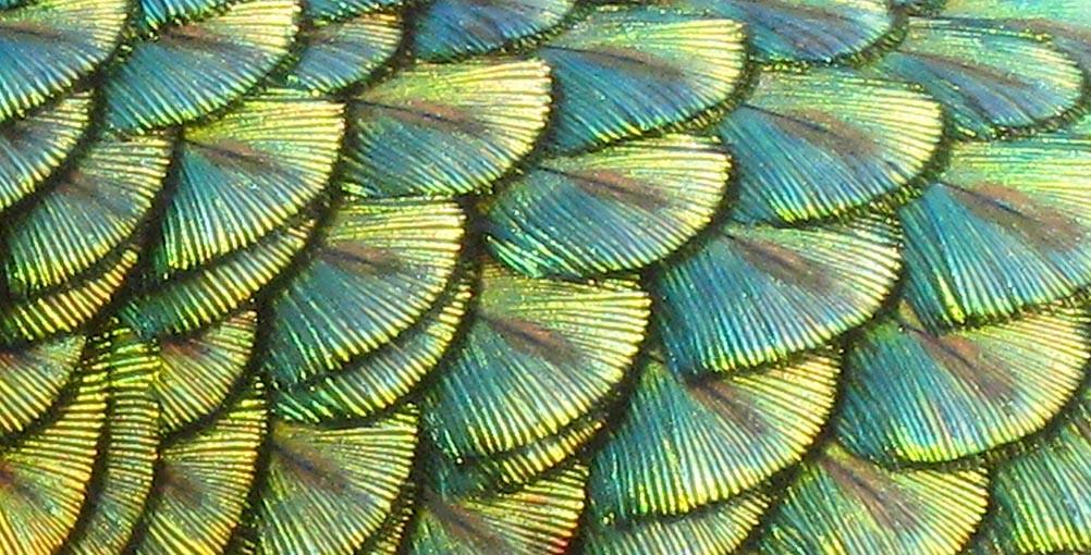 nature-peacock